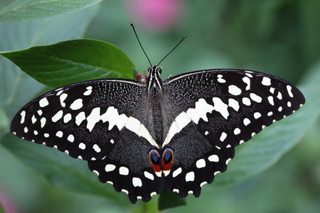 A Citrus Swallowtail Butterfly is staying on the flower.