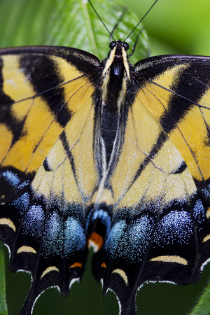 A Citrus Swallowtail Butterfly is staying on the leaves.