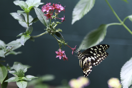 slurp: A Citrus Swallowtail Butterfly is slurping nectar from the flower.
