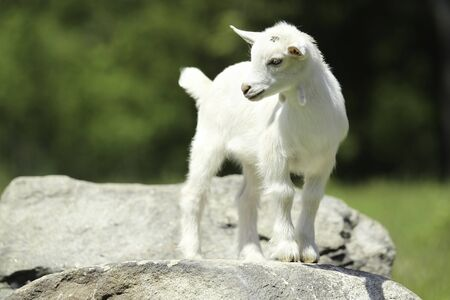 A baby goat is standing on a rock Stok Fotoğraf