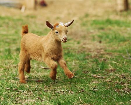 A baby goat is walking around Stok Fotoğraf