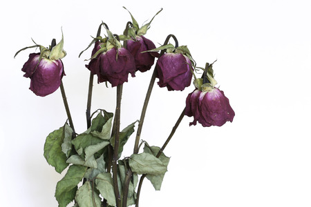 dried flower arrangement: Dried roses on the white background. Stock Photo