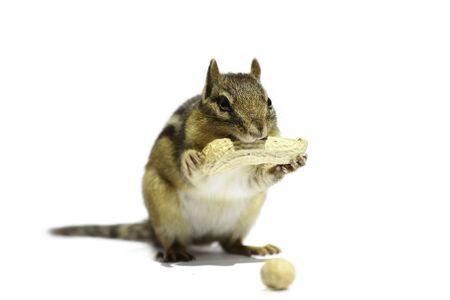 ardilla: Un chipmunk está sosteniendo el cacahuete.