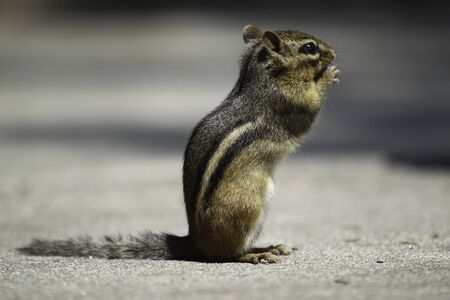 ardilla: A chipmunk is standing and looking
