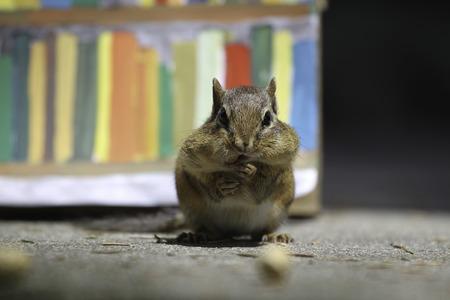 ardilla: A chipmunk is holding peanut.