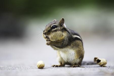 ardilla: Chipmunk masticar un cacahuete