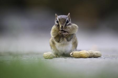 Een chipmunk houdt peanuts. Stockfoto