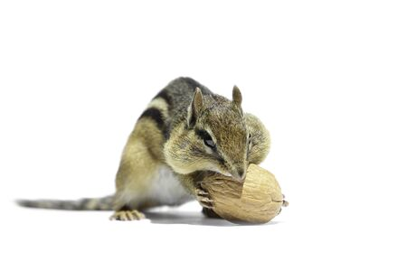ardilla: A chipmunk is holding Waluts.