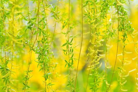 春の柳の木。 写真素材 - 67988626
