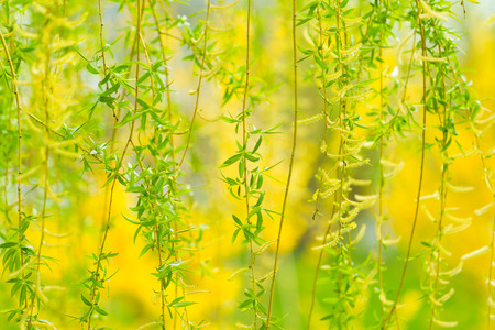 Willow Tree in the spring. Stock Photo