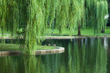 Willow leaves in the tranquil scene. Stock Photo