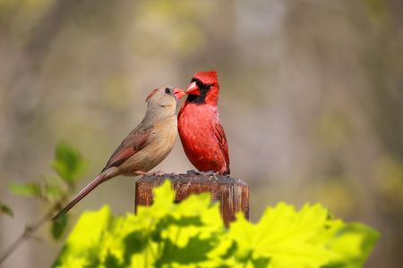 CaptionDescription: Cardinal couple feed each other lovely