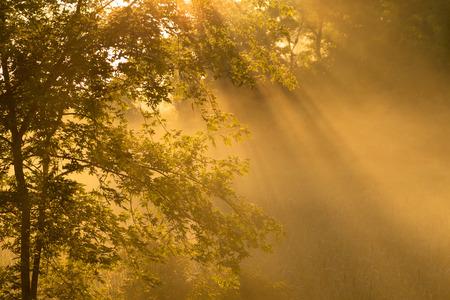 Early Morning Fog with Maple Tree 版權商用圖片