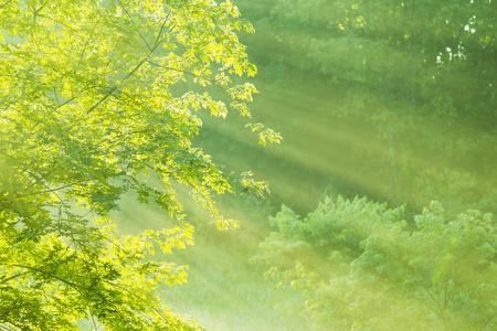 Maple Tree in Foggy Summer Morning 版權商用圖片