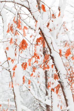 Snow Covered Maple Forest Stock Photo
