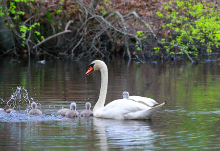 Female Swan Carries Chicks Piggyback on the lake Stok Fotoğraf