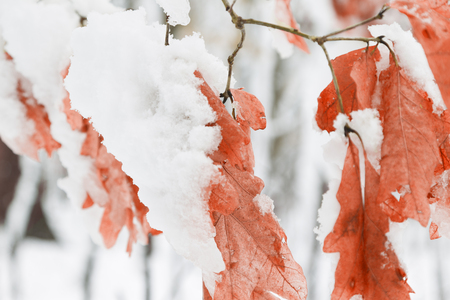 Winder Maple Forest With White Snow Covered