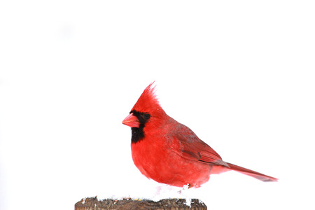 One red northern cardinal sitting perched on tree trunk during heavy winter snow Stok Fotoğraf