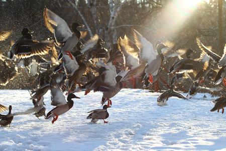 Flock of ducks flying in the snow in winter