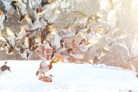 Flock of ducks flying in the snow in winter Stok Fotoğraf - 118200520