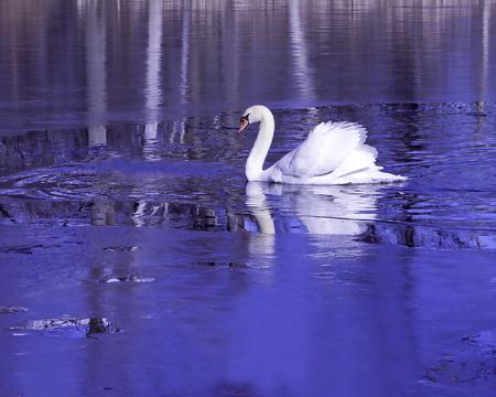 Swan on frozen lake