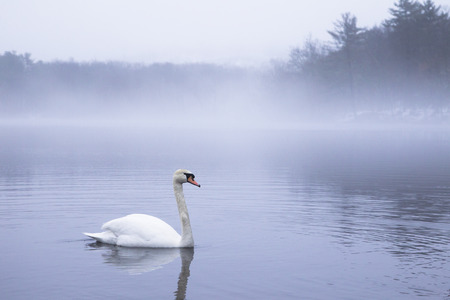A swan floating on foggy lake in the morning Stok Fotoğraf - 118200572