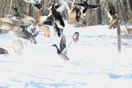 A little dog chasing ducks on snow in the winter Stok Fotoğraf