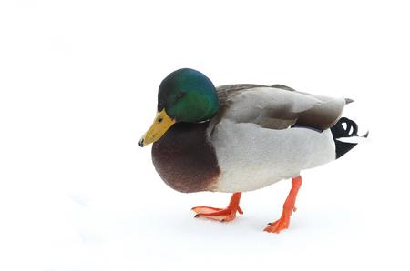 Mallard drake duck in snow in North America Stok Fotoğraf - 118200578