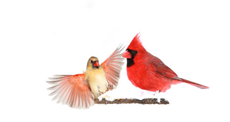 Male and female northern cardinals sitting perched on tree trunk during heavy winter snow Stok Fotoğraf - 118200579