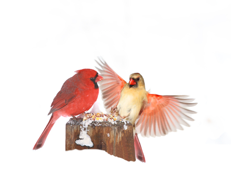 Male and female northern cardinals sitting perched on tree trunk during heavy winter snow Stok Fotoğraf
