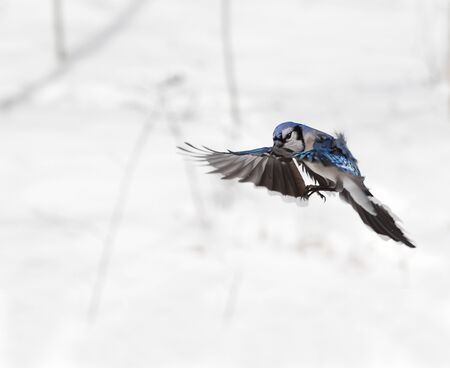 Blue Jay flying in the air in winter Stok Fotoğraf