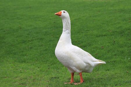 A domestic goose (Anser anser domesticus) standing in meadow Stok Fotoğraf - 128347336