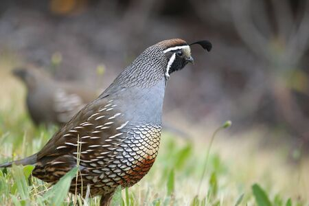 A Couple of California Quails standing in grass