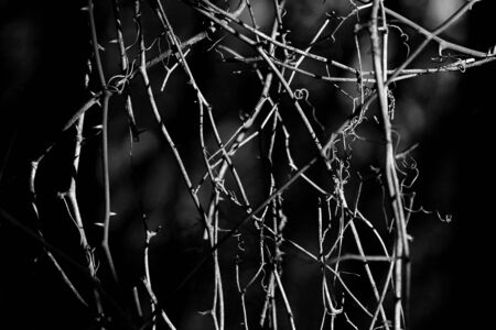 Winded vine isolated on black background in fall