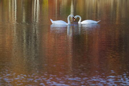 Swan in Autumn Lake with Beautiful Colors