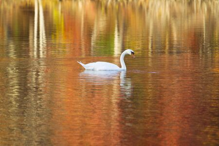 Swan in Autumn Lake with Beautiful Refection Colors