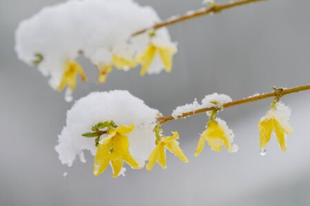 Snow Covered Forsythia Flower in April in New England Stok Fotoğraf