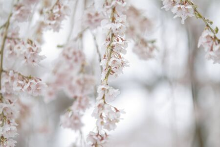 Snow Covered Cherry Flower in April in New England
