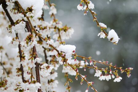 Snow Covered Cherry Flower in April in New England  Stok Fotoğraf