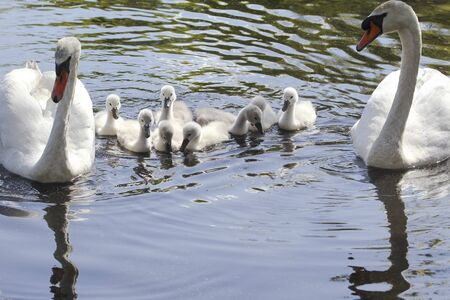 Two Swans and Their Eight Cygnets in Water Stok Fotoğraf