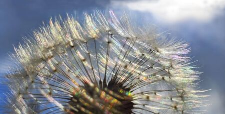 Colorful Dandelion Reflected by SunLight in Summer