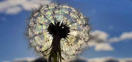 Colorful Dandelion Reflected by SunLight with Blue Sky background