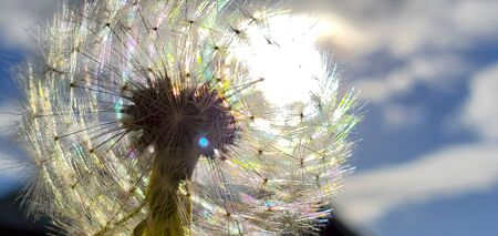 Colorful Dandelion Reflected by SunLight with blue sky