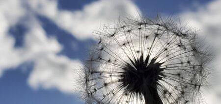 Colorful Dandelion Reflected by SunLight in Summer with blue sky