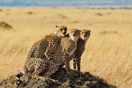 game reserve: African savannah wildlife - three cheetahs posing in Masai Mara National Reserve, Kenya