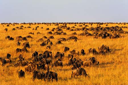 migration: Wildebeest migration in Masai Mara National Reserve, Kenya