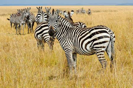 I'm No Angel. Capitulo 21-22 24568442-cebras-en-reserva-nacional-de-masai-mara-kenia