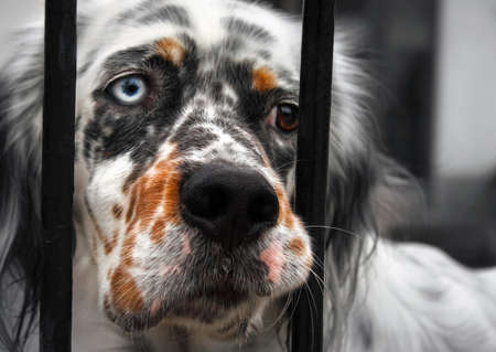behind bars: the sad dog behind bars has one blue eye and the other is brown. The look Expresses sadness and supplication