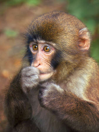 unprotected: Puppy monkey portrait, unprotected animal (japanese macaque)