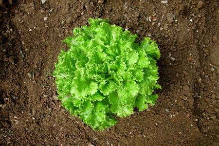 Bunch salad in the ground, vivid green vegetable